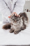 Vet examining a cute grey cat. In medical office royalty free stock photo
