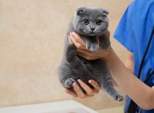 Vet examining cute little kitten in veterinary clinic. Stock Photos