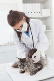 Vet examining a cute maine coon Stock Photos