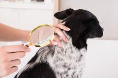 Vet Examining Dog`s Hair With Magnifying Glass Stock Photos