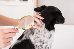 Vet Examining Dog`s Hair With Magnifying Glass. Close-up Of A Vet Examining Dog`s Hair With Magnifying Glass Stock Photos