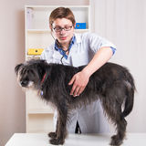 Vet examining a dog with a stethoscope in the office Royalty Free Stock Images