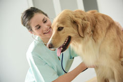 Vet examining dog. Veterinarian examining dog's heartbeat at medical office Stock Photos