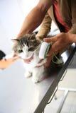 Vet examining the little cat Stock Photos