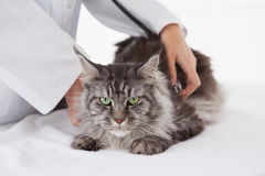 Vet examining a maine coon with stethoscope Stock Images