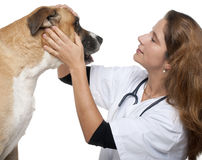 Vet examining a mixed-breed dog Royalty Free Stock Photo