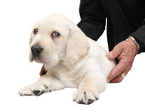 Vet examining a puppy dog Stock Image
