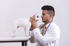 vet för terrier för boston hundholding Royaltyfria Bilder