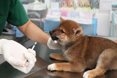 The vet is feeding the puppy. Vet feeding medicine with a syring stock photography