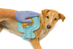 Vet give  a hot water bottle to sick dog Royalty Free Stock Images