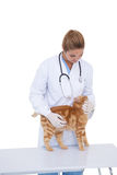 Vet giving a cat a check up Stock Photography