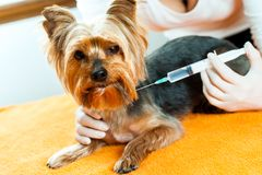 Vet giving dog injection. Royalty Free Stock Image