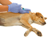 Vet giving injection the dog Stock Images