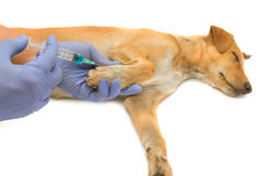 Vet giving injection the dog Stock Photography