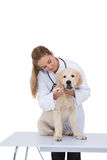 Vet giving a puppy a check up. On white background Royalty Free Stock Image