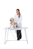 Vet giving a puppy a check up. On white background Stock Photos