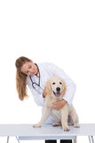 Vet giving a puppy a check up. On white background Royalty Free Stock Photo
