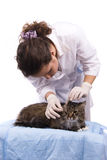 Vet have a medical examination a cat Royalty Free Stock Image