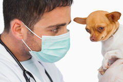 Vet holding chihuahua and wearing protective mask Stock Photo