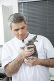Vet Holding At Rabbit In Clinic. Mature male vet holding at rabbit in clinic Royalty Free Stock Image