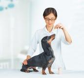 Vet holds medication for dog. Veterinarian woman holds medication for dachshund dog in hospital Royalty Free Stock Photo