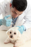 Vet inserting a needle syringe into pet Royalty Free Stock Photo