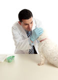 Vet inspecting dogs eyes Royalty Free Stock Photo