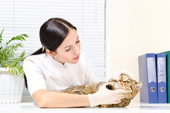 Vet inspects teeth cat Royalty Free Stock Photo