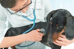 Vet listens dachshund dog of black color Stock Image
