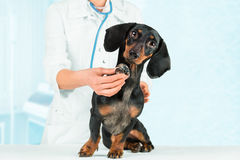 Vet listens dog. Unrecognizable veterinarian listens dachshund dog in a hospital Royalty Free Stock Photography