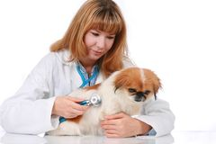 Vet and little dog. Stock Photography