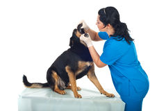 Vet look inside the dog's mouth Royalty Free Stock Photos