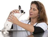 Vet looking at a Dalmatian rabbit Stock Photos