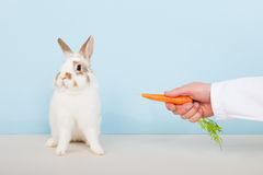 Vet lures a rabbit with carrot Royalty Free Stock Images