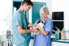 Vet Measuring Rabbit's Pulse. Veterinarian doctor examining a rabbit's pulse with female nurse at clinic Stock Image