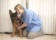 Vet monitoring an Alsatian dogs heartbeat Royalty Free Stock Photography