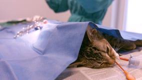 A vet operating a cat