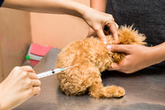Vet preparing to vaccinate a puppy Royalty Free Stock Photo