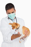 Vet in protective mask checking chihuahua Stock Image