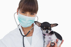 Vet with protective mask holding a cute chihuahua Stock Photos