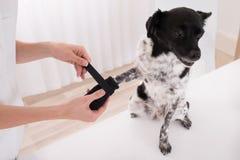 Vet Putting Bandage On Dog`s Paw. Close-up Of A Vet Putting Bandage On Dog`s Paw Stock Image