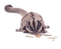Vet suiker-zweefvliegtuig dat mealwormon eet Stock Foto