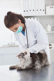 Vet with surgical mask examining a cat. In medical office royalty free stock image
