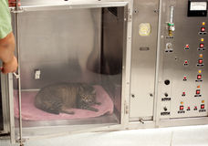 Vet technician opens door to oxygen tank. A sick cat recuperates in an oxygen cage royalty free stock photo