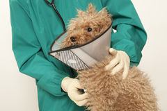 Vet and toy poodle. Vet examining an red toy poodle Stock Images