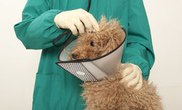 Vet and toy poodle Stock Photo