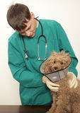 Vet and toy poodle Royalty Free Stock Photo