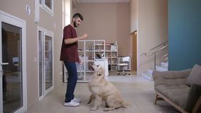 Vet training dog to stand on hind legs. Full length of vet doctor and golden retriever during training at pet clinic. Young veterinarian using treat to teach and stock footage