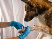 The vet treats the wound on the dog`s paw. Treatment dogs have the vet. Copy space stock photos
