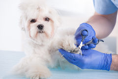 Vet trimming claws Stock Image